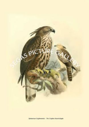 SPIZAETUS CEYLONENSIS - THE CEYLON HAWK-EAGLE